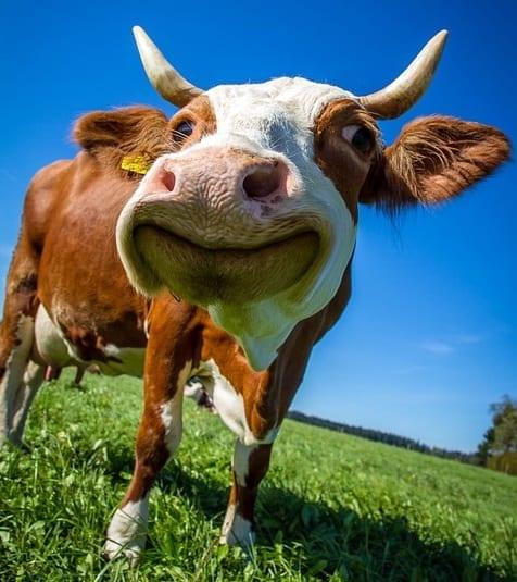 cow-2896329_960_720-Copy